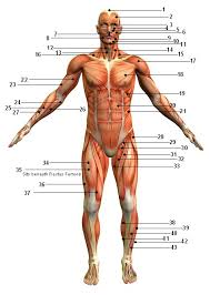 Human Anatomy Anterior Muscular System Picture Anterior Front View Sport Fitness Advisor