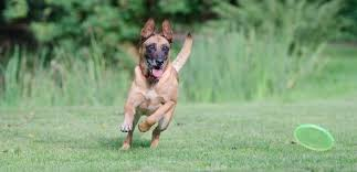 lifespan of belgian shepherd belgian malinois vs german shepherd