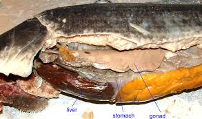 fish dissection diagram fish free image about wiring diagram