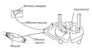 Motor Reflex Arc Human Physiology Neurons U0026 The Nervous System Ii