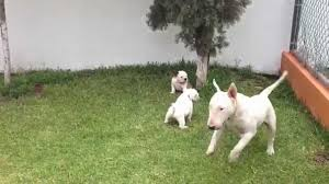 imagenes de terrier ingles bulldog ingles vs bull terrier ingles youtube