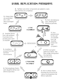 examples of viral replication pathways