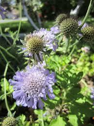 pincushion flower garden wendys hat