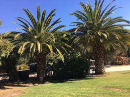 we buy palm trees homeowner sell your palms and trees trees for