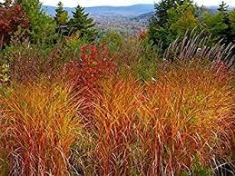 miscanthus grass ornamental grass perennial
