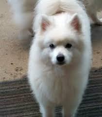american eskimo dog energy level seattle purebred dog rescue