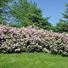 miss lilac bush fast growing trees