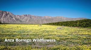 anza borrego desert wildflower super bloom 03 12 2017 youtube