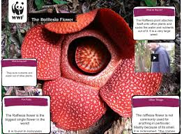rafflesia is a genus of parasitic flowering plants is the world u0027s