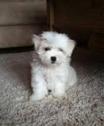 2 month old bichon frise super cute 10 week old maltichon puppies lovable furry friends