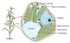 animal cell parts coloring page plant cell stock images royalty