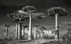 ancient trees portraits of by photographer beth moon telegraph