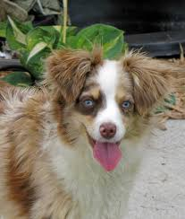 2 australian shepherds toy story aussies puppy colors