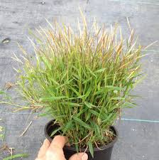 baby bamboo green meadow growers