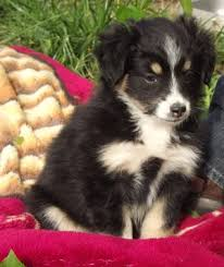 australian shepherd eyebrows 112 best dogs images on pinterest aussies black and aussie dogs