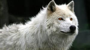 imagenes de fondo de pantalla lobos fondo pantalla lobo blanco