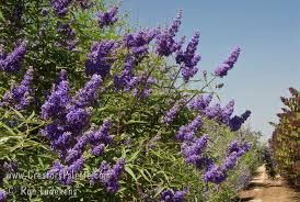 tree with purple flowers vitex agnus castus cooke s purple chaste tree creatorspalette