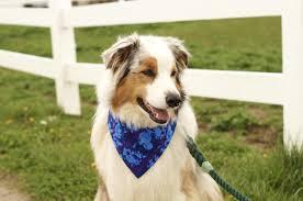 australian shepherd illinois floral dog bandana dog bandanas cute dog bandana spring