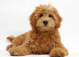 goldendoodle puppy treats what are some tips for taking care of goldendoodle puppies