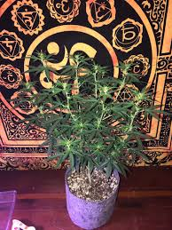 welcome to sinful u0027s 3rd indoor grow perfect sun led 3 auto
