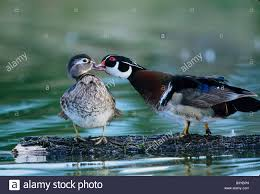 usa florida wood duck interacts with offspring stock photo