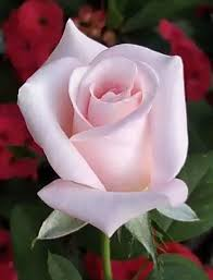 1782 best roses galore images on beautiful roses
