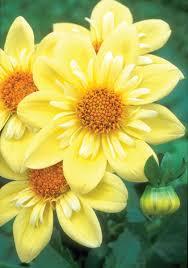 164 best yellow flower garden images on pinterest nature yellow