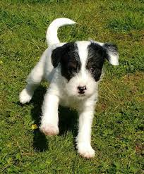bedlington terrier guide parsons jack russell x bedlington terrier pups in ellon