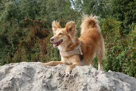 belgian sheepdog idaho free images sand wildlife fauna vertebrate joy of life