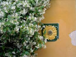 Fragrant Night Blooming Plants - 72 best fragrant vines images on pinterest vines plants and flowers