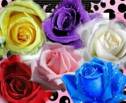 white blue roses 60 seeds 6 colors purple pink blue white yellow