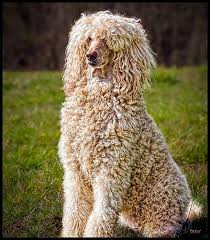 Poodles Long Hair In Winter | poodles smart active and proud poodle standard poodles and dog
