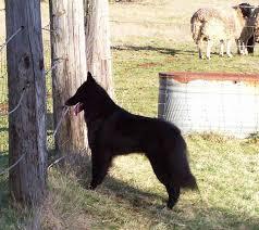 belgian sheepdog breeders in canada our girls u2013 verseau belgian sheepdogs