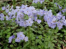maryland native plants native shade plants joan o u0027connor