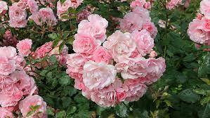 pink rose flower garden images best idea garden
