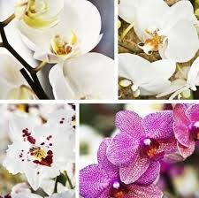Flower Of Orchid - indoor orchid plant types u2013 different varieties of orchid flowers