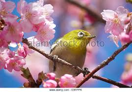 cherry tree bird stock photos cherry tree bird stock images alamy