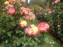 Multi Colored Roses Multi Colored Rose Bush At Portland U0027s Rose Test Garden Picture