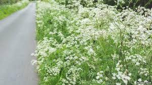 roadside verges u0027last refuge for wild flowers u0027 bbc news