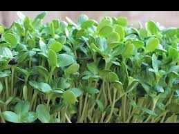how to grow sunflower sprouts a tasty chorophyll rich protein