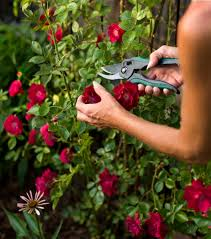 how to refresh your mid summer garden with roses toronto star