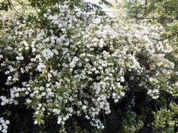 White Flowering Shrub - native plants for michigan landscapes part 2 shrubs msu extension