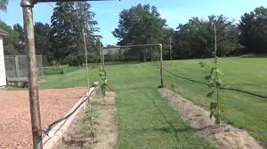 part 2 grape trellis out of clothesline june 24 2015 update