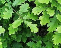 135 best tammi oak images on oak tree nature and trees