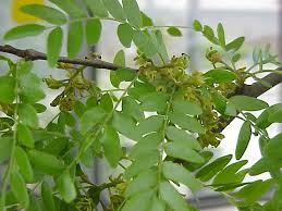 Tree With Little White Flowers - unusual and exotic fruit and nut plant seeds from around the world