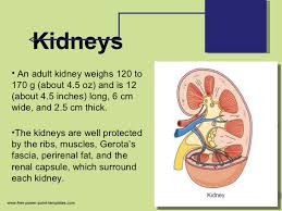 Kidney Anatomy And Physiology Video Anatomy And Physiology Of Urinary System