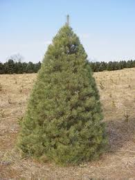 scotch pine christmas tree mountain products llc floyd virginia