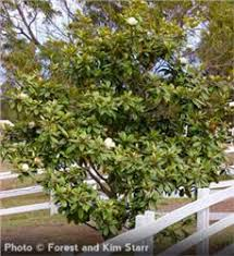 southern magnolia tree on the tree guide at arborday org