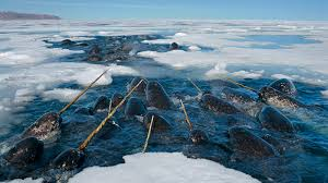 narwhal facts and pictures