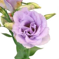 lisianthus flower designer lisianthus flower for june to september delivery